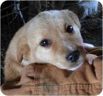 Golden Retriever/Terrier (Unknown Type, Medium) Mix Puppy for adoption in Lexington, Missouri - Golden Retriever mix puppies