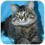 Photo 3 - Domestic Mediumhair Cat for adoption in Ladysmith, Wisconsin - Hudson