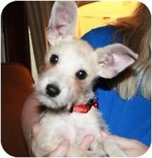 Miniature Schnauzer Mix Puppy for adoption in Cheney, Kansas - BoBo