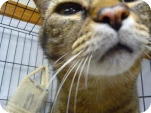 Domestic Shorthair Cat for adoption in Milwaukee, Wisconsin - Tigger