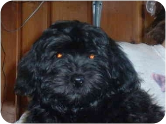 Lhasa Apso/Poodle (Miniature) Mix Dog for adoption in Mason City, Iowa - Bill