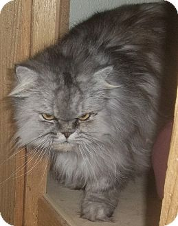 Himalayan Cat for adoption in Witter, Arkansas - Colonel (Lynx-point Himalayan)