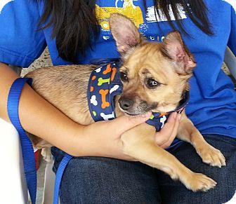 Chihuahua Dog for adoption in Arcadia, California - Jingle