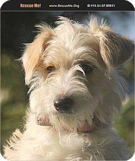 Maltese/Yorkie, Yorkshire Terrier Mix Dog for adoption in Boulder, Colorado - Fleur