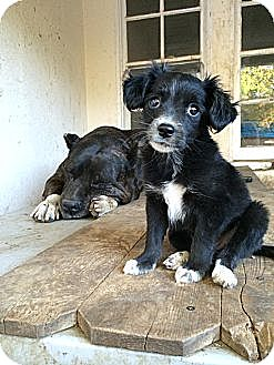 Papillon Mix Puppy for adoption in Van Nuys, California - Tink Tink