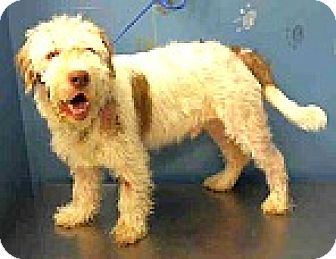 Bearded Collie/Schnauzer (Standard) Mix Dog for adoption in Boulder, Colorado - Mesa