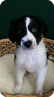 Border Collie/Australian Shepherd Mix Puppy for adoption in Paris, Illinois - Jude