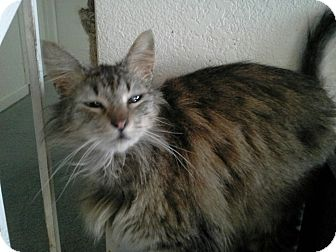 Domestic Mediumhair Cat for adoption in San Ramon, California - Gracie