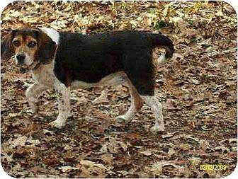 Beagle Dog for adoption in South Burlington, Vermont - Max