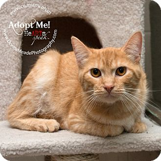 Domestic Shorthair Cat for adoption in Troy, Ohio - Simba