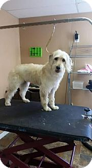Yorkie, Yorkshire Terrier/Poodle (Miniature) Mix Dog for adoption in Gallatin, Tennessee - Olaf