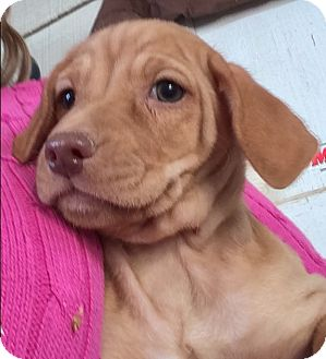 Spaniel (Unknown Type)/Basset Hound Mix Puppy for adoption in Thousand Oaks, California - Scion