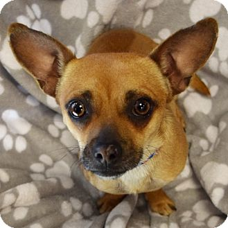Chihuahua Mix Dog for adoption in Las Vegas, Nevada - Rocco