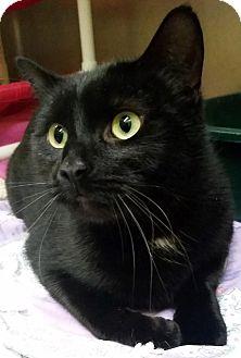 Domestic Shorthair Cat for adoption in Adrian, Michigan - Demon