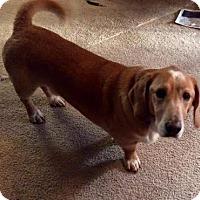 Adopt A Pet :: Duke - Santa Rosa, CA