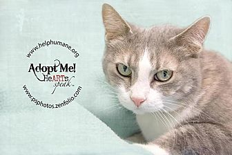 Domestic Shorthair Cat for adoption in Belton, Missouri - Monica