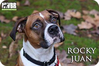 Boxer Dog for adoption in Woodinville, Washington - Rocky Juan
