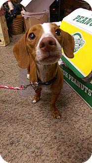 Dachshund/Terrier (Unknown Type, Small) Mix Dog for adoption in Ogden, Utah - Buddy