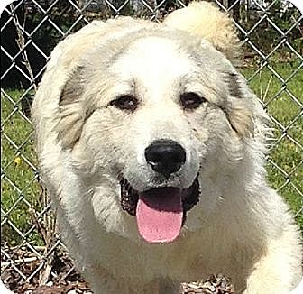 Great Pyrenees Dog for adoption in Harrisonburg, Virginia - Clifford