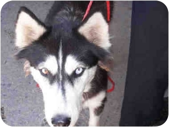 Siberian Husky Dog for adoption in Southern California, California - KAYDA- URGENT