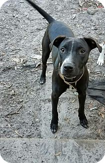 Cattle Dog/Labrador Retriever Mix Dog for adoption in Sanford, Florida - Tag