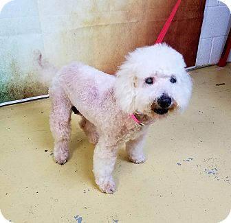 Bichon Frise/Poodle (Miniature) Mix Dog for adoption in Oakland, Florida - Beth