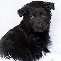 Adopt A Pet :: Koda 💙! - Saratoga Springs, NY