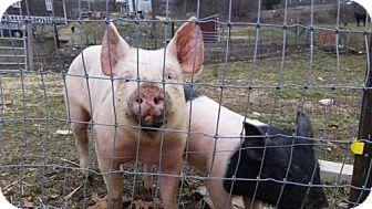 Pig (Farm) for adoption in Methuen, Massachusetts - MARSHMELLOW