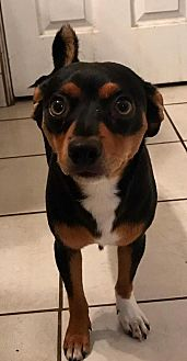Jack Russell Terrier/Chihuahua Mix Puppy for adoption in Colton, California - Goliath