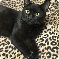 Domestic Shorthair Cat for adoption in Island Park, New York - Jasmine