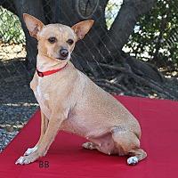 Chihuahua/Miniature Pinscher Mix Dog for adoption in Santa Barbara, California - Aspen