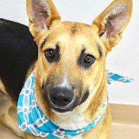 Adopt A Pet :: Beau - Dublin, CA