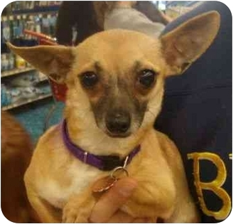 Chihuahua Dog for adoption in House Springs, Missouri - Olga