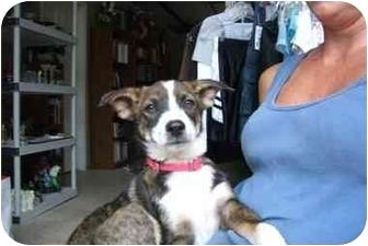Boston Terrier/Sheltie, Shetland Sheepdog Mix Dog for adoption in Fair Oaks Ranch, Texas - Sydney