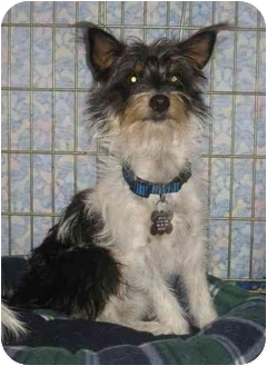 Yorkie, Yorkshire Terrier Mix Dog for adoption in Houston, Texas - Pixie