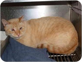 Domestic Shorthair Cat for adoption in El Cajon, California - Elmo