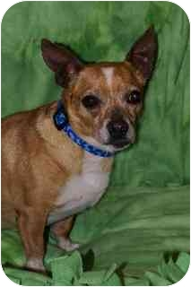 Chihuahua Mix Dog for adoption in Hendersonville, Tennessee - Bugsy