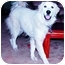 Photo 2 - Great Pyrenees Dog for adoption in Kyle, Texas - Piper