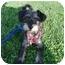 Photo 3 - Schnauzer (Miniature)/Dachshund Mix Puppy for adoption in Los Angeles, California - Fritz