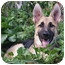Photo 3 - German Shepherd Dog Puppy for adoption in Los Angeles, California - Ginger von Chapin
