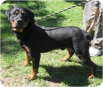 Rottweiler Dog for adoption in Rexford, New York - Eli