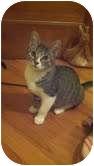 Domestic Shorthair Kitten for adoption in Chicago, Illinois - Sawyer