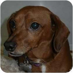 Dachshund Mix Dog for adoption in Des Moines, Iowa - Tank