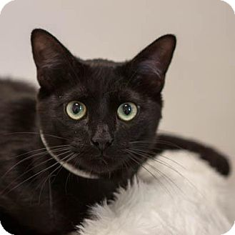 Domestic Shorthair Cat for adoption in Denver, Colorado - Sinatra