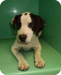 Pointer/Labrador Retriever Mix Puppy for adoption in Yuba City, California - 10/20 Heinz