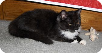 Domestic Mediumhair Kitten for adoption in Richmond, Virginia - May