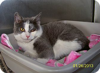Domestic Shorthair Cat for adoption in Dover, Ohio - Smudge