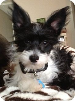 Chinese Crested Puppy for adoption in conroe, Texas - Clown