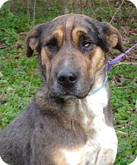Catahoula Leopard Dog/Shar Pei Mix Dog for adoption in Westport, Connecticut - *Abigail - PENDING