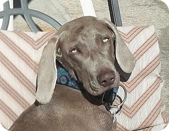 Weimaraner Puppy for adoption in Rolling Hills Estates, California - Dixie